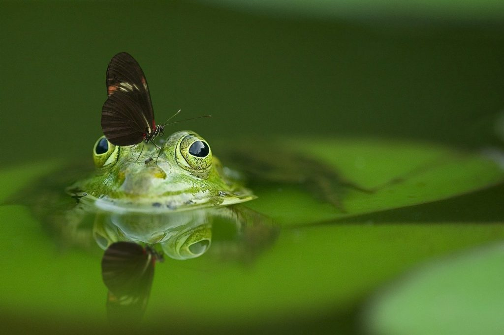frog, butterfly, pond